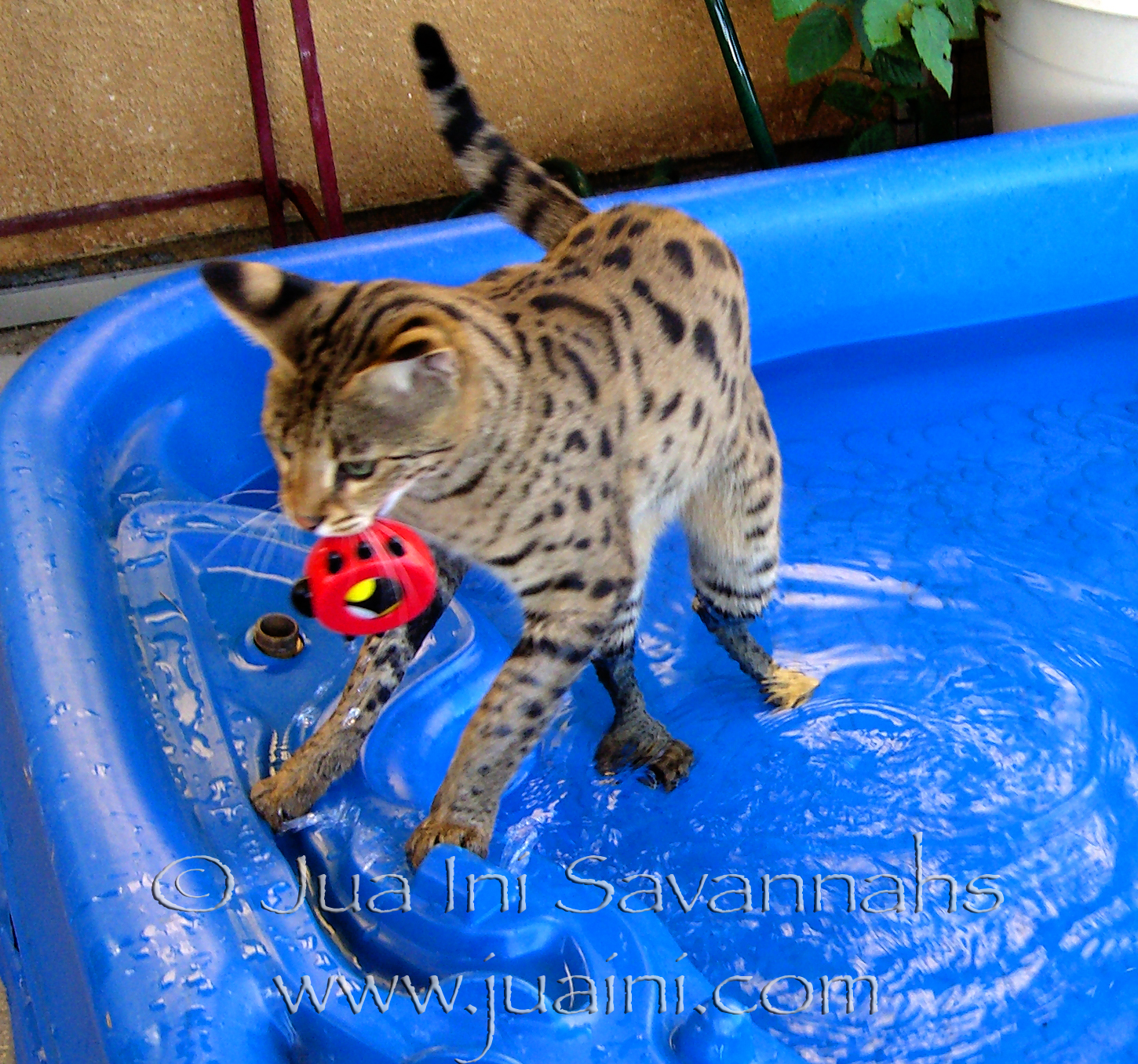 Image: Savannah cat, Capoeira, playing fetch in her swimming pool.