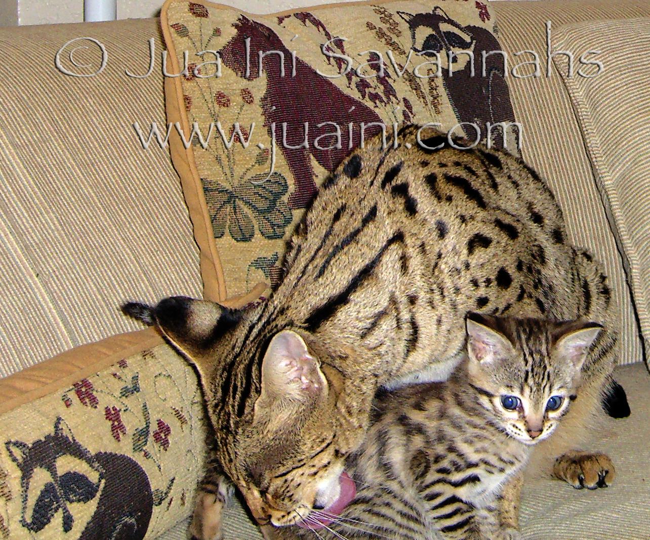 Capoeira babysitting F3 Savannah kittens